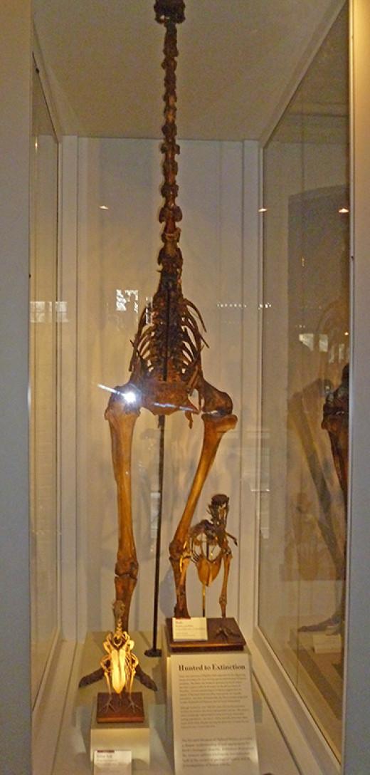 Three Extinct Birds (Skeletons)