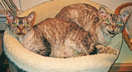 Two Devon Rex in their natural habitat