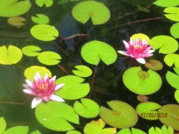 Delicate pink water lilies