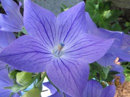 Beautiful blue balloon flowers