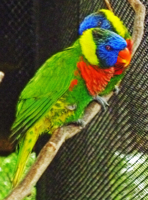 Brilliant lorikeets