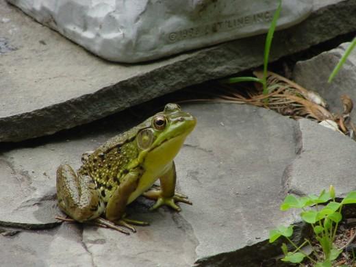 """""""Frogger"""" our bullfrog"""