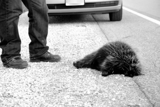 On road to Tobermory, a dead porcupine lying on the road for 2 days.