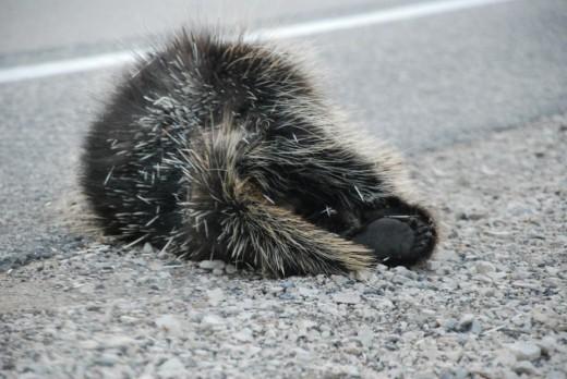 A dead porcupine.