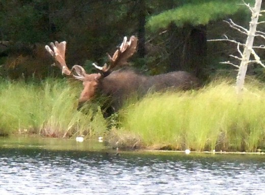 Mr. Big Moose, I see you!