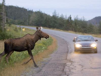 Crossing moose.