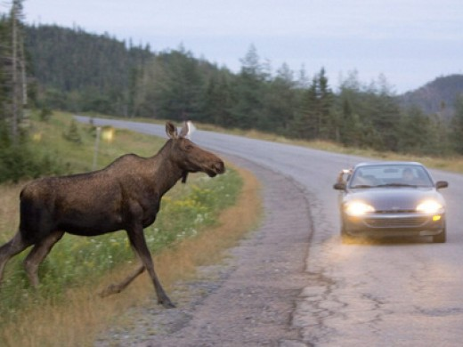 Crossing moose.