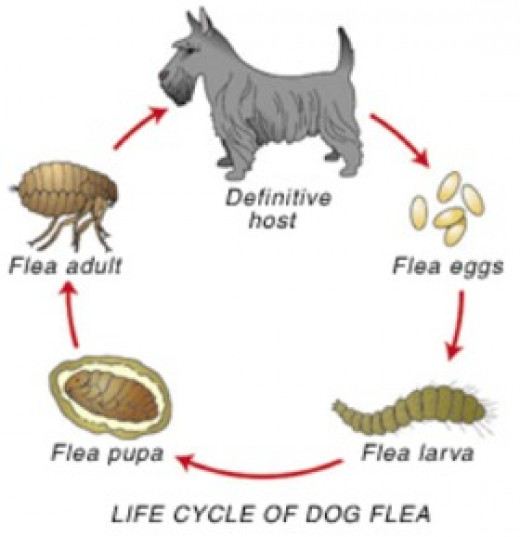 Adult fleas can live 3-4 months