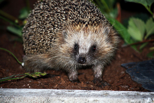 Hedge hog playing in the dirt.