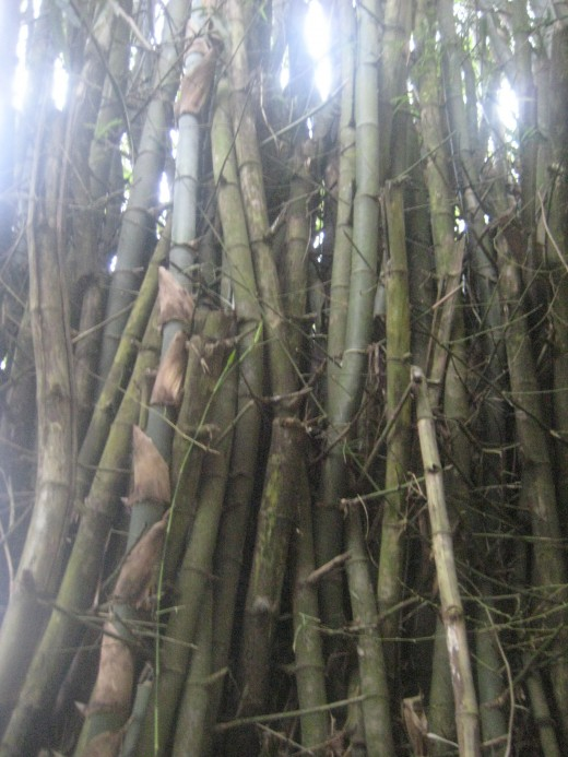 2. Appreciating the bamboos that abound in the area.