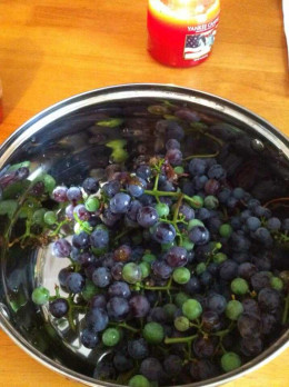 Fresh from the vines on my back fence. If you like your pie on the tart side...a few greenish grapes in the mix does wonders.