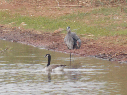 Great Blue Heron frightens away Canada Goose