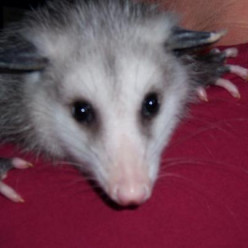 Wildlife Rehabilitation and Pickles the Opossum