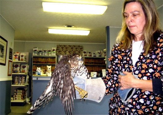 Cooper's Hawk with a Licensed Wildlife Rehabilitator