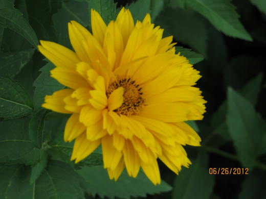 "Called ""Fake sunflower"""