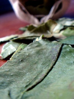 Coca leaves containing the alkaloid cocaine