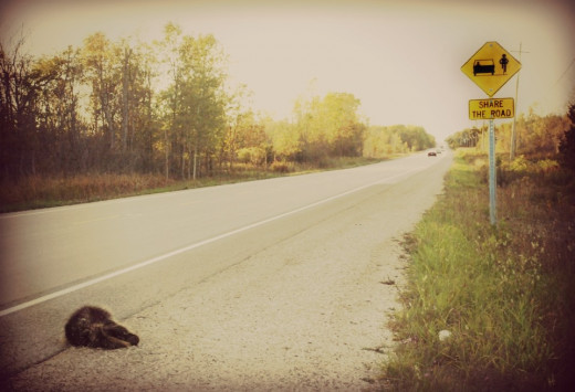 "How ironic the picture is with the road sign that reads: SHARE THE ROAD and a dead porcupine in front of it. ""I had an errand to do beyond the road across. My short legs and poor eyesight didn't take me far, instead I was tossed."""