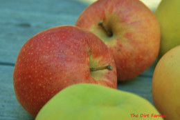 Any apple variety can be used for applesauce, but cooking apples are the easiest to turn into puree without the aid of a food mill.