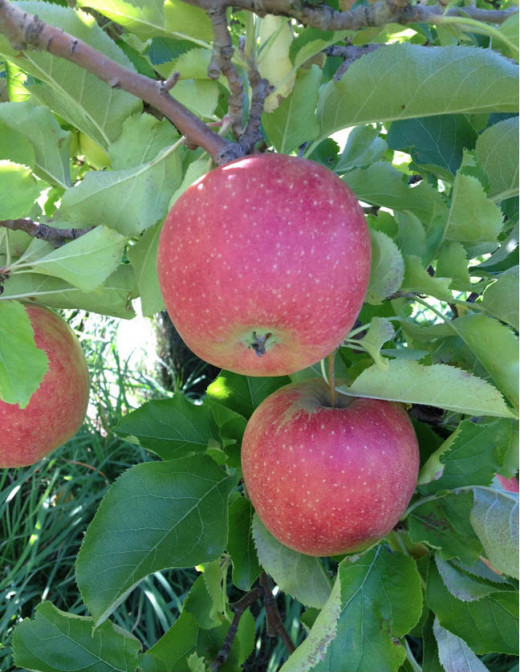 There are NH orchards throughout the state growing a huge variety of apples, including heirlooms.