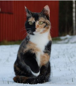 Why Are Calico Cats Always Female?