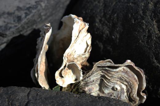 Oysters, Scharendijke