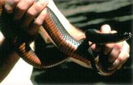 Copperbelly water snake
