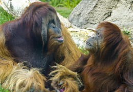 Clyde and Lola, so cute in a gorilla kind of way.