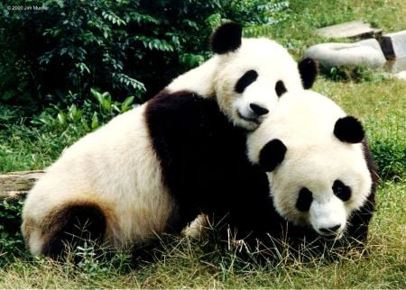 Awwww... pandas have the SWEETEST faces!