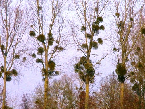 Mistletoes thriving on host tress