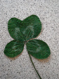 Three or Four Leafed Clover