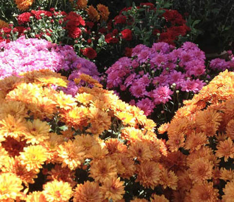 In September, many, many homes have pots of colorful mums on the stoops of their entries welcoming visitors.