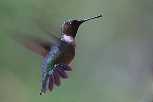 Hummingbird Waiting His Turn at Feeder.