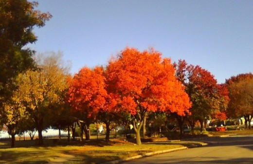 These brilliant trees were showy festivals of autumn a couple years ago...before our two  years of drought faded their colors for this year.