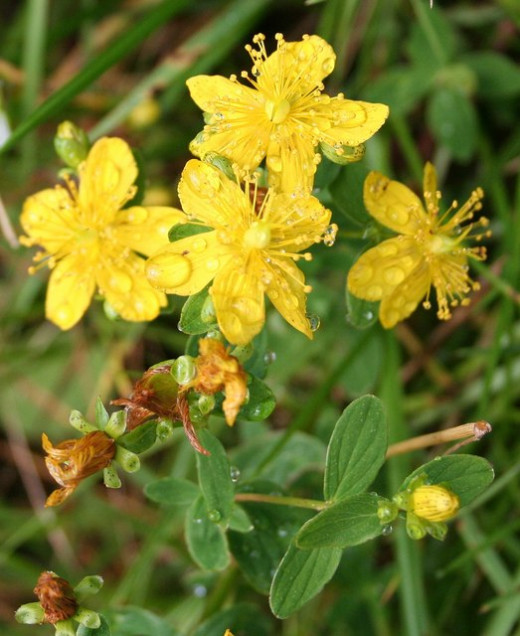 St. John's Wort in full bloom.