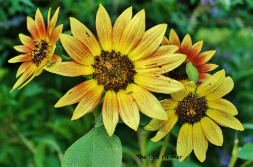 Slightly alkaline soil is just right for sunflowers, too.