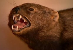 Oh, That Dreaded Fisher Cat!  (A Look at Martes Pennanti)