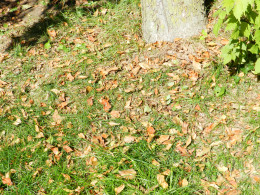 Clean and destroy leaf litter to help prevent apple scab.
