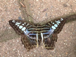 Butterflies do occasionally land on the walkways. It is best to look down so as not to step on a resting one.