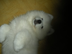 How to train a dog (Samoyed) not to pee and poop indors?