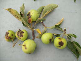 Apple scab on fruit and leaves