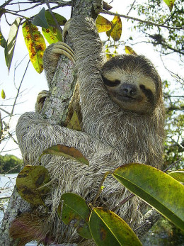 The Brown throated three toed sloth