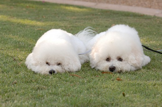 A pair of Bichons with haircuts fit for a show.