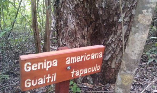 The guaitil tree.  Shrub species are also labeled along the trail.  The guides are also knowledgeable of some medicinal qualities of some of the trees, shrubs and vines you will find.