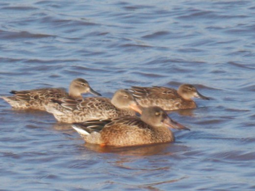 Northern Shoveler Family