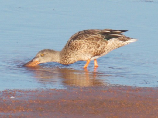 Female Northern Shoveler Feeding