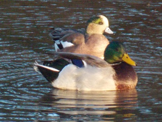 Mallard(foreground) and American Wigeon(background)