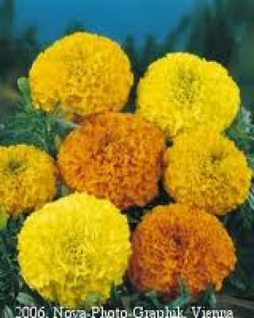 Marigolds are a great way to keep insects away. Plant them near your front and back doors and also near a garden.