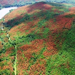 The alien species spruce pine beetle devastated the interior forests of BC. Since 2007, it has spread east due to windstorms over the winter.