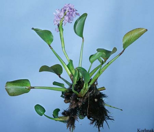 The water hyacinth is noted for being able to purify water and yet it is often considered a nuisance weed.