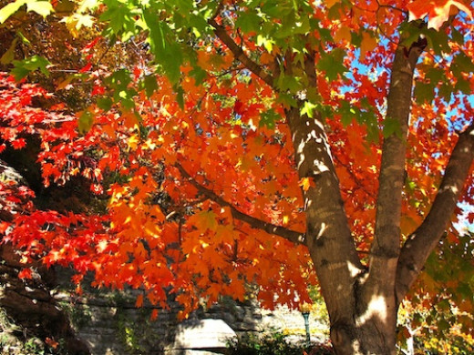 Maple trees are perennials that provide color in the landscape and generous shade as they grow older.